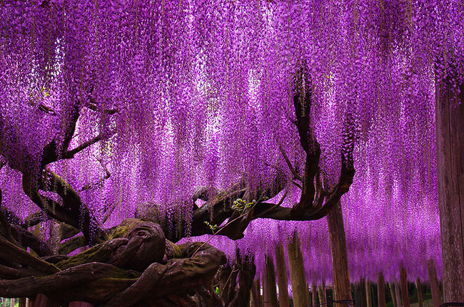 beautiful picture - 144-Year-Old Wisteria In Japan