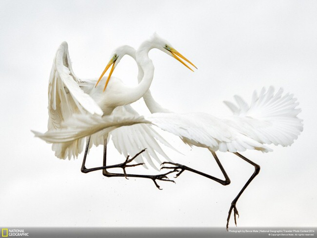 beautiful image - Great-white Egrets