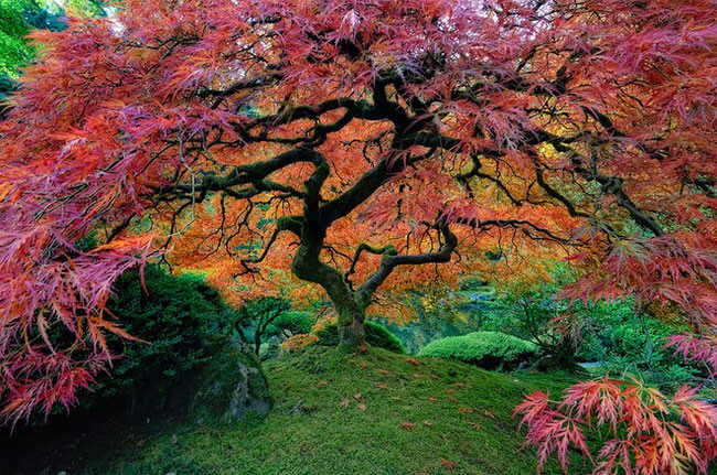 beautiful nature - Japanese Maple In Portland, Oregon
