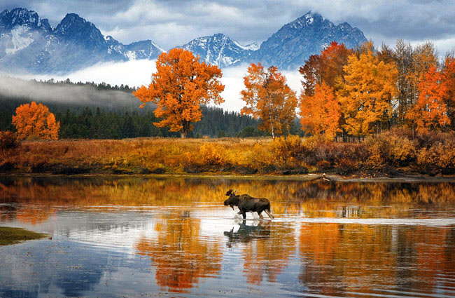 nature picture - Moose in Snake River
