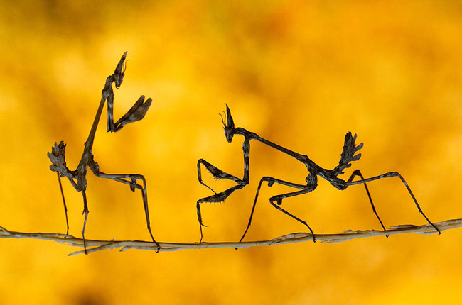 beautiful pic - praying mantises