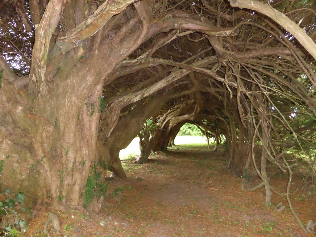 Photo Tree Yew Tunnel