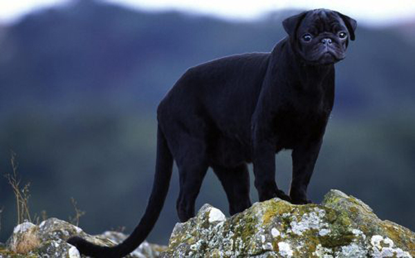 Pugther