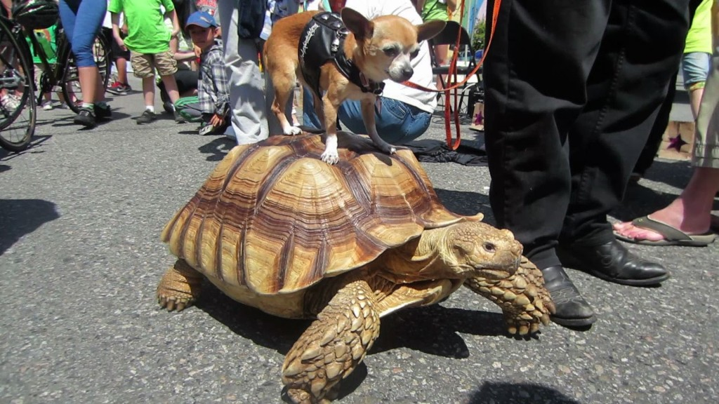 chihuahua riding turtle