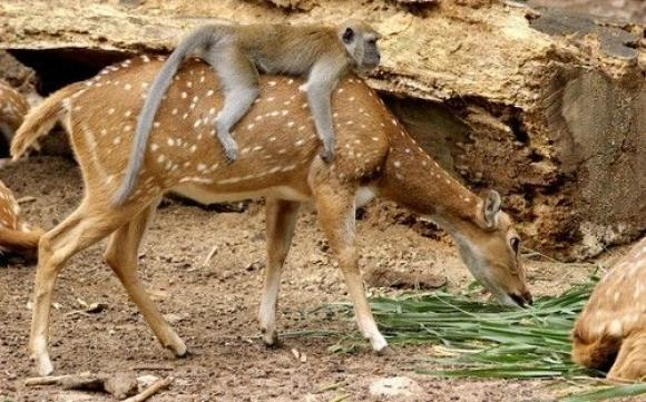 monkey riding deer