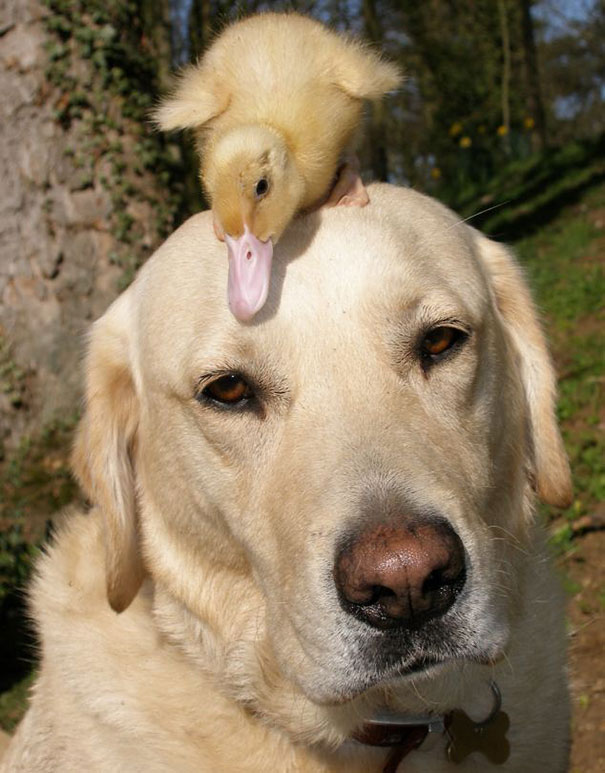 duckling and labrador