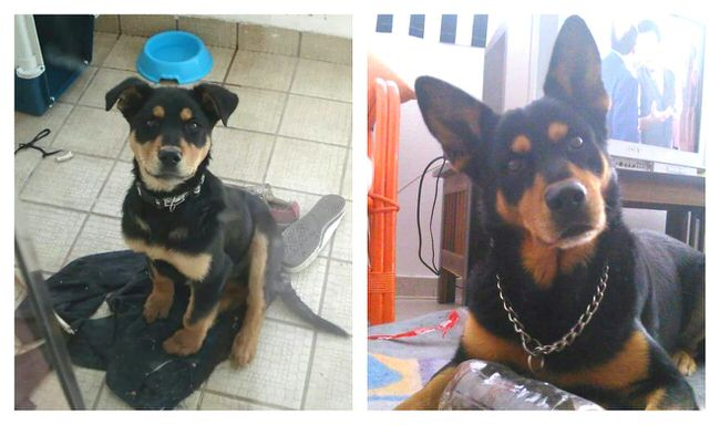 dogs-before-and-after-pictures-7