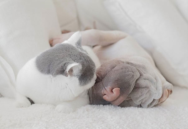 shar-pei-dog-and-cat-best-friends-magical-pictures-1