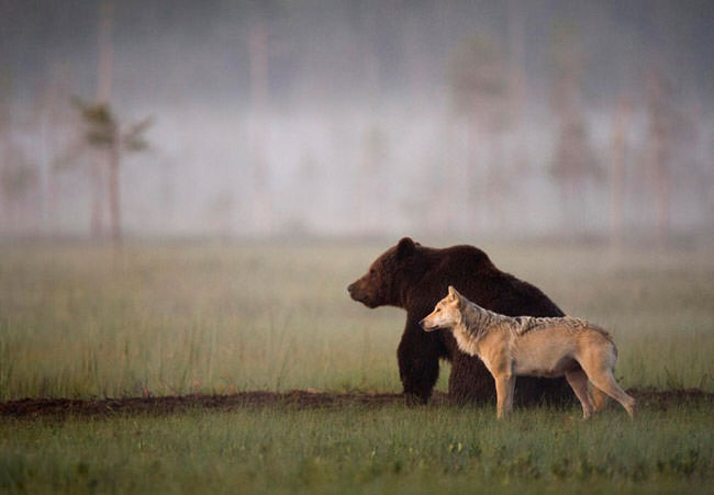 unlikely-animal-friendship-gray-wolf-brown-bear-1