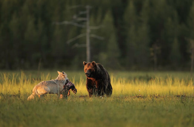 unlikely-animal-friendship-gray-wolf-brown-bear-2