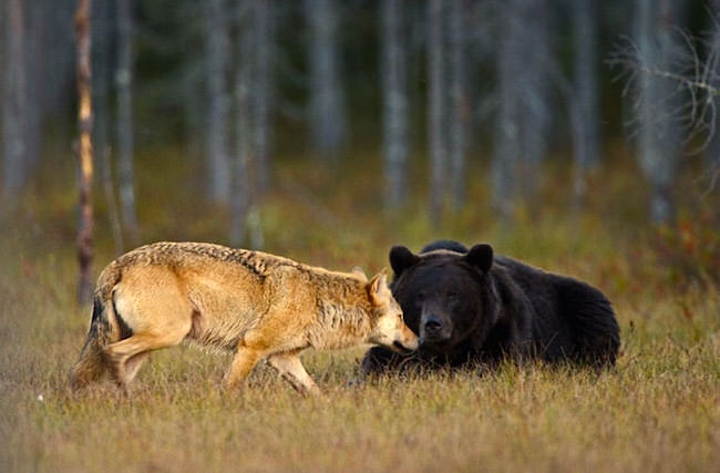 unlikely-animal-friendship-gray-wolf-brown-bear-3