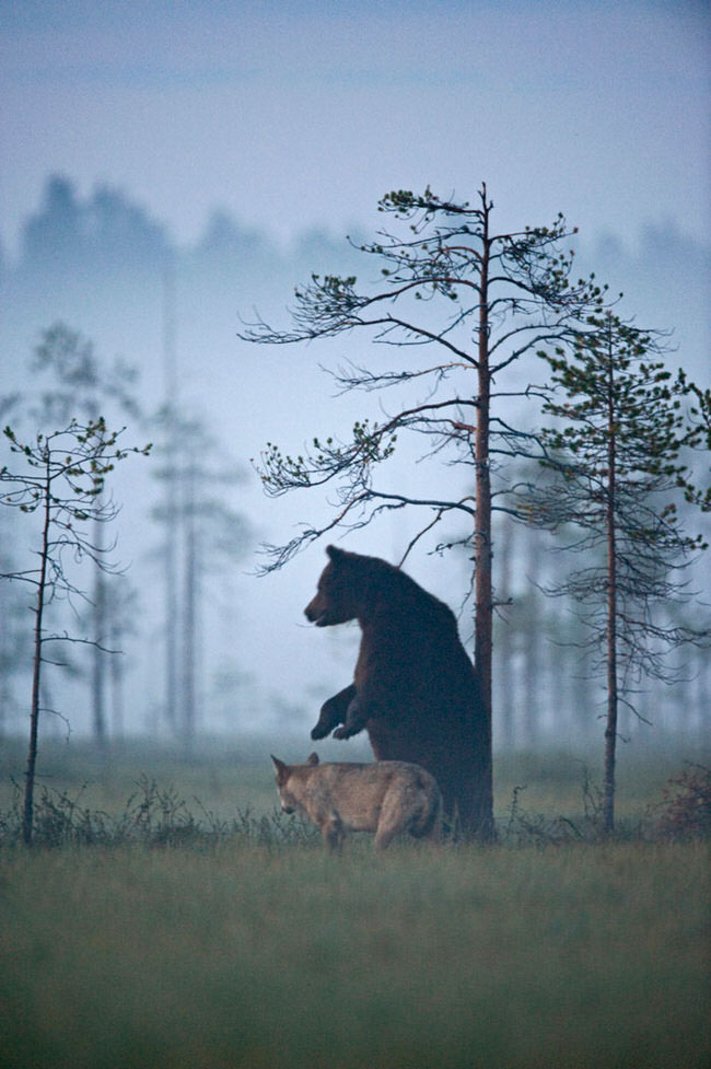 unlikely-animal-friendship-gray-wolf-brown-bear-4