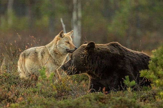 unusual-animal-friendship-gray-wolf-brown-bear-1