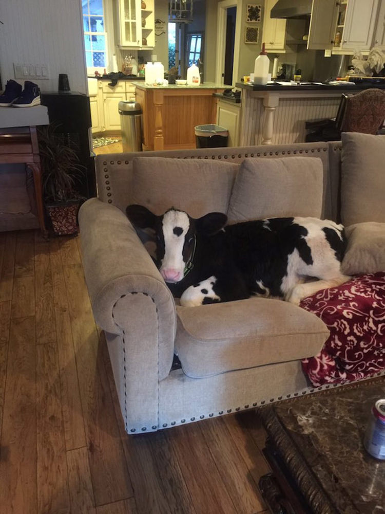 adorable-baby-cow-thinks-shes-a-dog-1