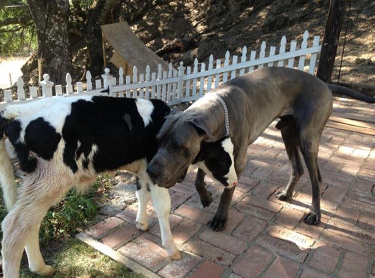 adorable-baby-cow-thinks-shes-a-dog-3