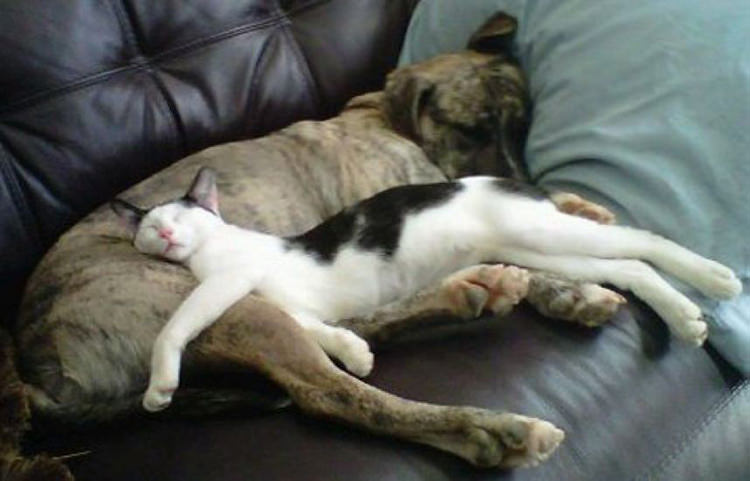 adorable-cats-sleeping-on-dogs-1