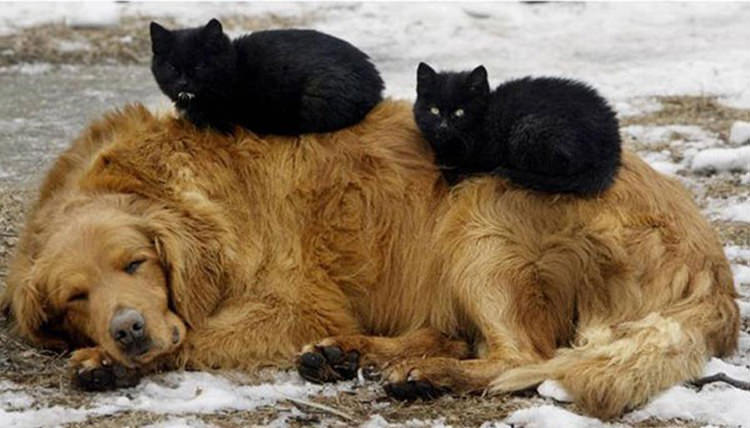 adorable-cats-sleeping-on-dogs-2