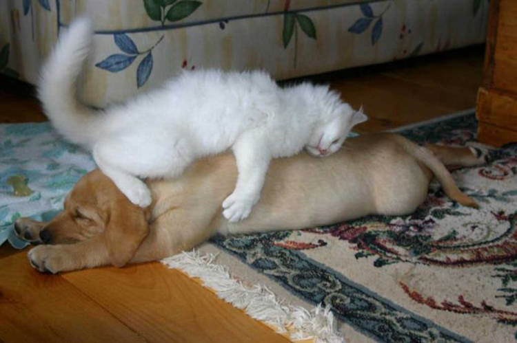 adorable-cats-sleeping-on-dogs-4