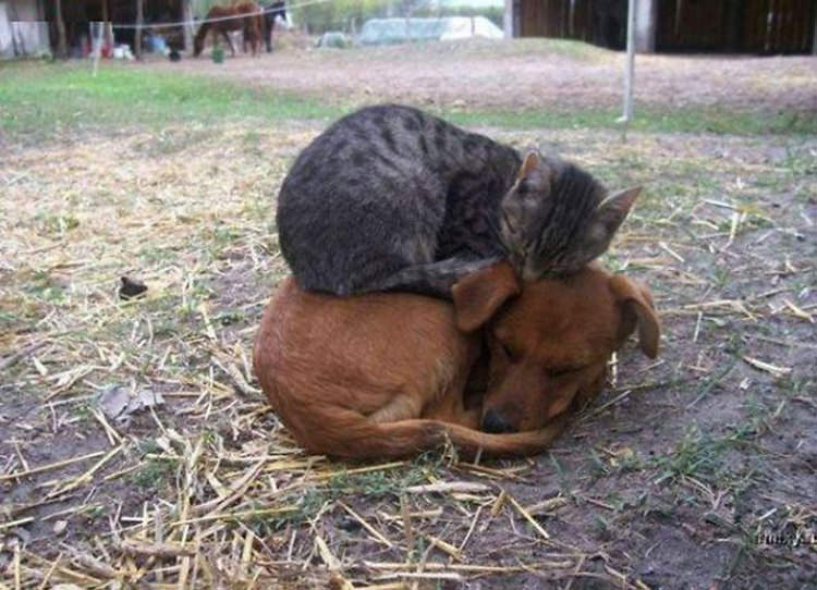 cats-sleeping-on-dogs-1