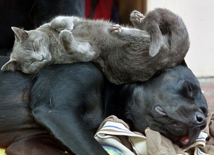 cats-sleeping-on-dogs-2