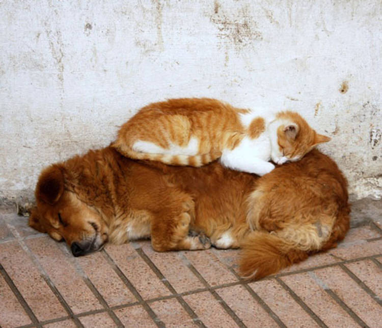 cats-using-dogs-as-pillows-1