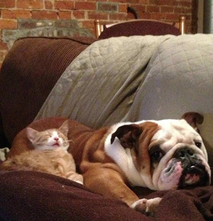 cats-using-dogs-as-pillows-2