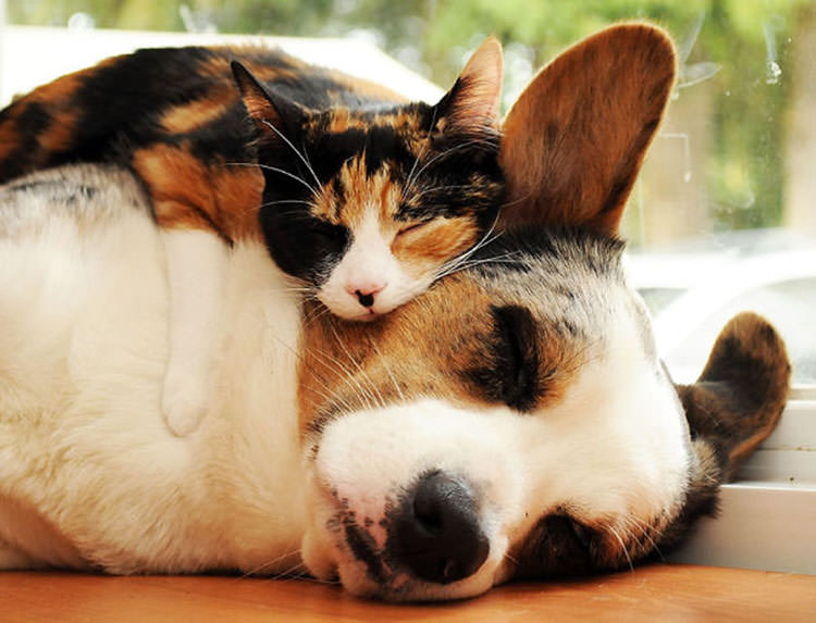 cats-using-dogs-as-pillows-4