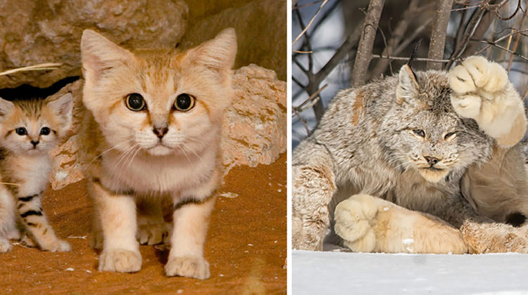 Top  Biggest Cat Breeds In The World