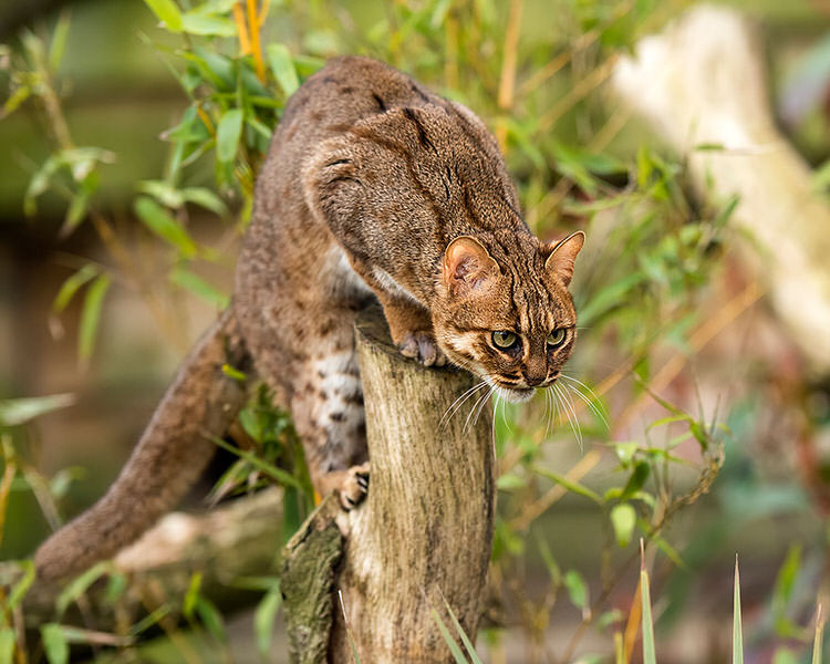 unusual-wild-cats-1