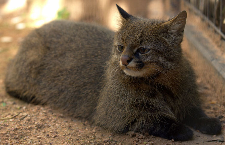 unusual-wild-cats-2
