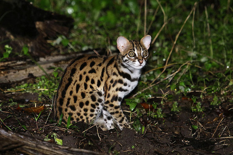 unusual-wild-cats-5