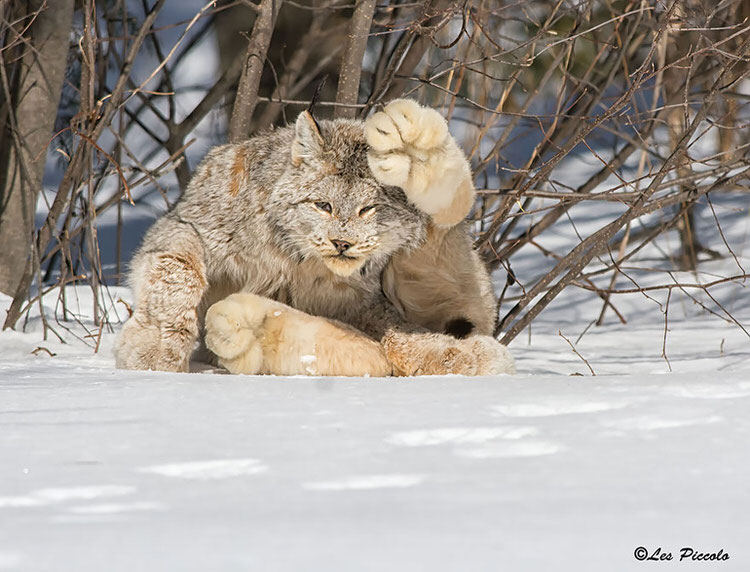 unusual-wild-cats-9