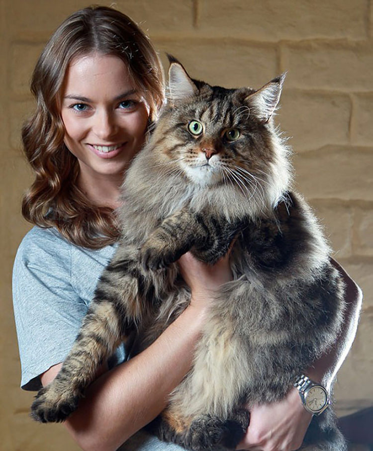 huge-maine-coon-cats-12