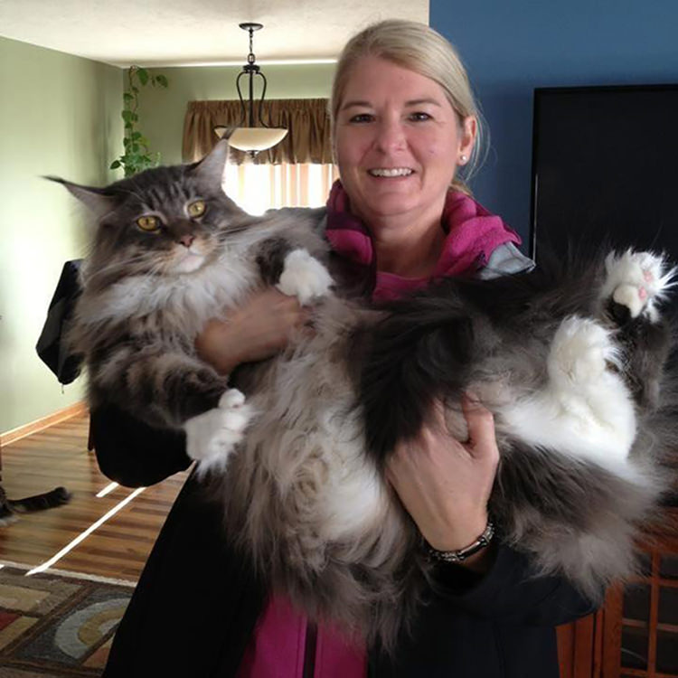 huge-maine-coon-cats-14