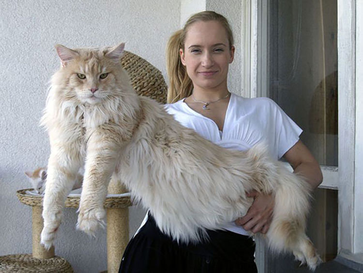 huge-maine-coon-cats-18