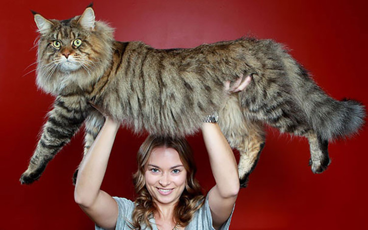 huge-maine-coon-cats-2