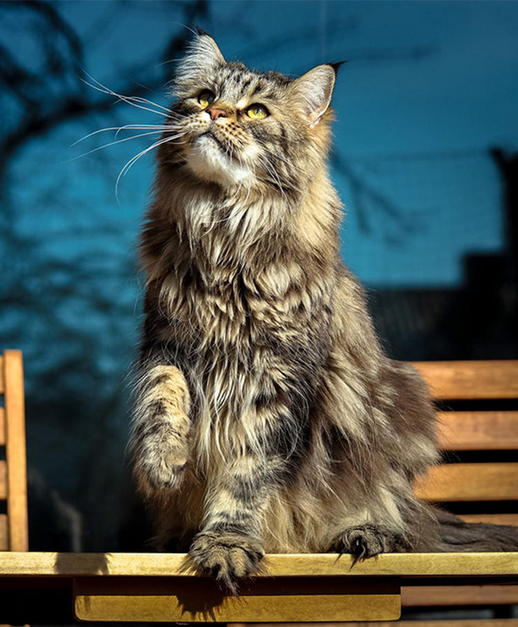 huge-maine-coon-cats-20