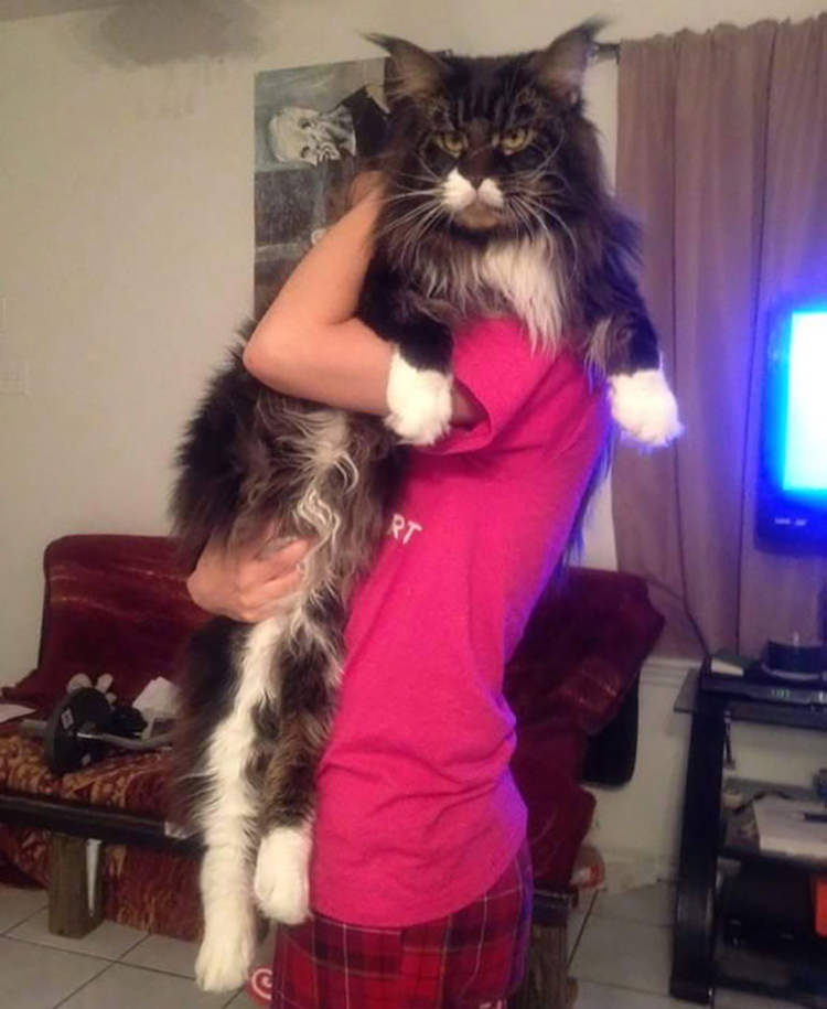 huge-maine-coon-cats-6