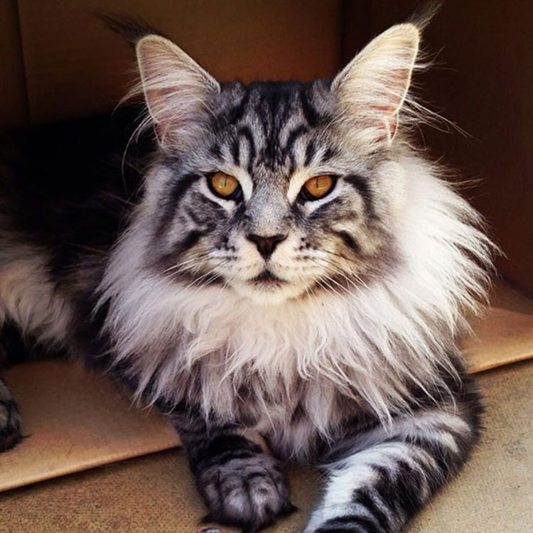 huge-maine-coon-cats-7