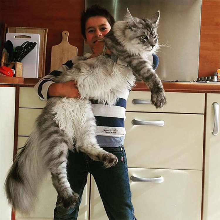 huge-maine-coon-cats-9