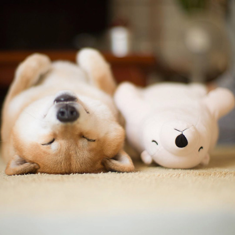 dog-shiba-inu-sleeps-same-position-stuffed-animal-1