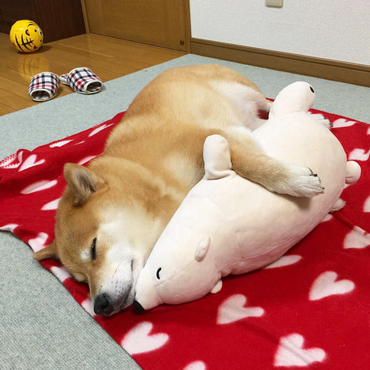 dog-shiba-inu-sleeps-same-position-stuffed-animal-10