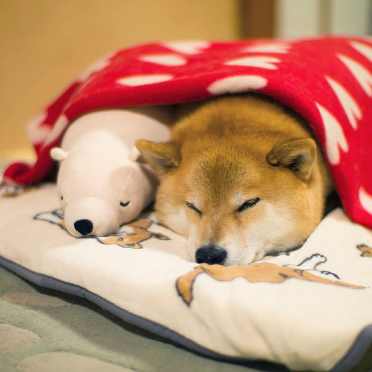 dog-shiba-inu-sleeps-same-position-stuffed-animal-11