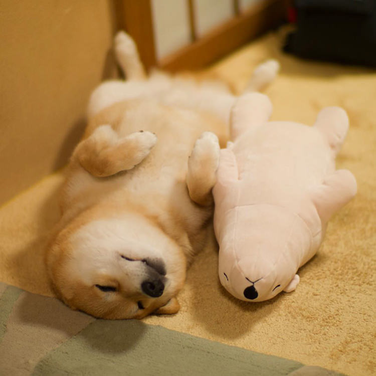 dog-shiba-inu-sleeps-same-position-stuffed-animal-2