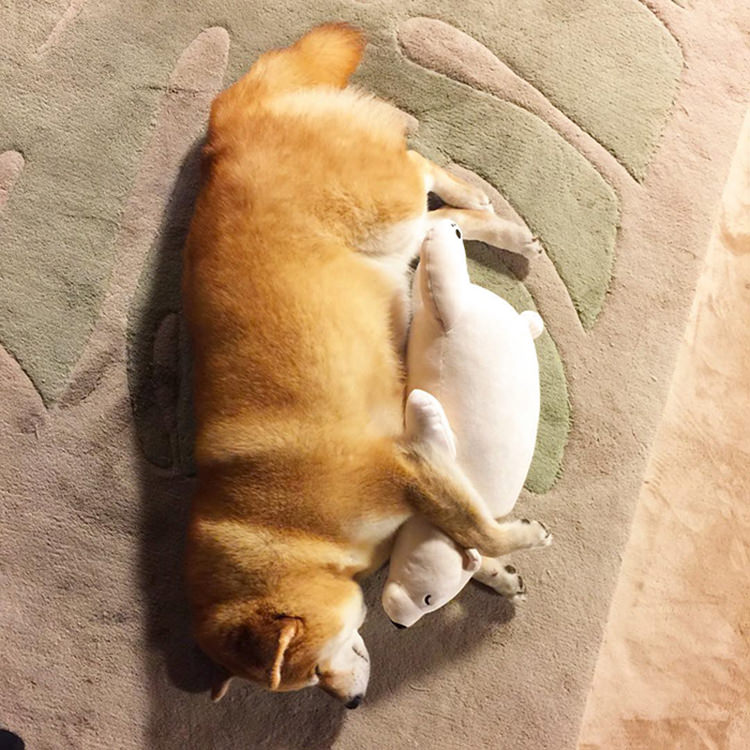 dog-shiba-inu-sleeps-same-position-stuffed-animal-3