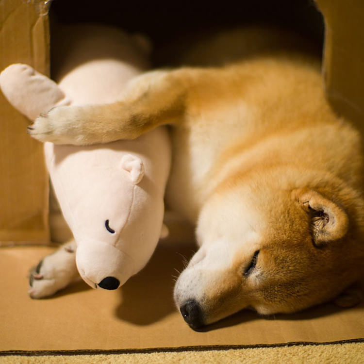 dog-shiba-inu-sleeps-same-position-stuffed-animal-6