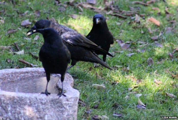 girl-feeds-crows-1