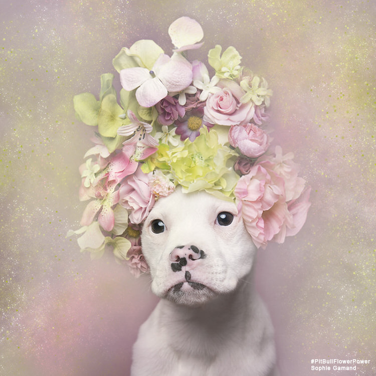 Woman Photographs Shelter Pit Bulls With Flower Crowns To