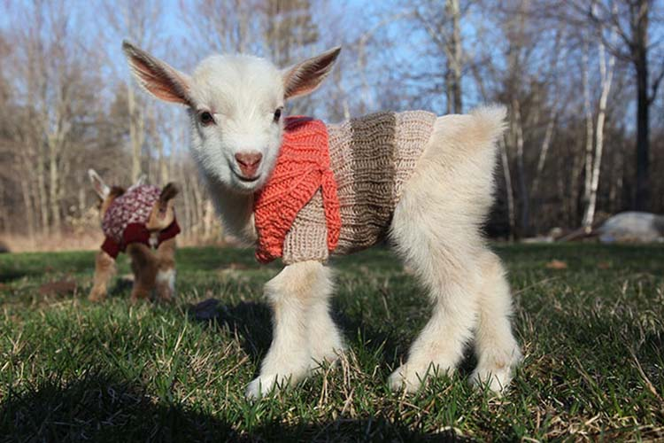 Cute Goat Triplets Wear Tiny Knit Sweaters To Keep Cozy