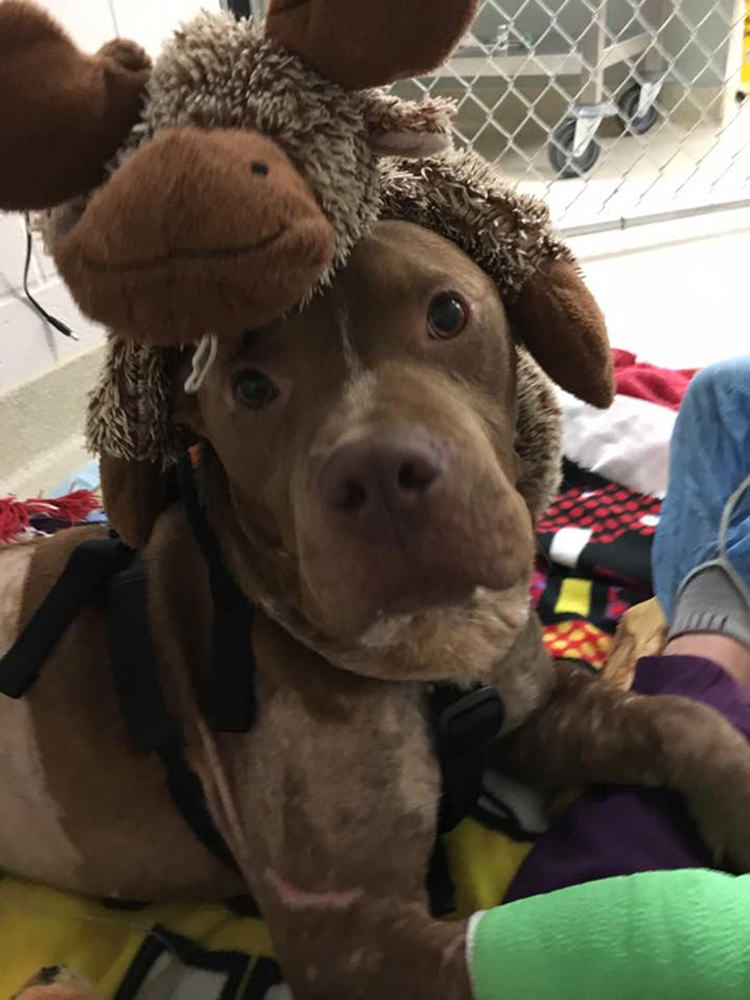 rescued-fight-pitbull-12
